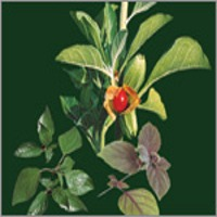 Herbal Extract Oils (Essential Oils)