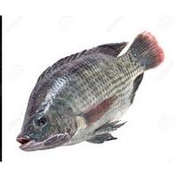 Telapia Fish