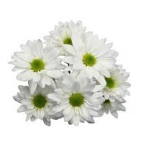Spray Chrysanthemum
