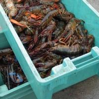 Live & Frozen Nile Crayfish