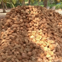 Indian Semi Husked Coconuts