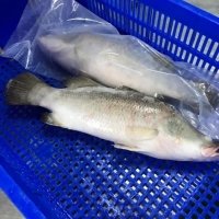 Frozen Barramundi ( Seabass ) Fish