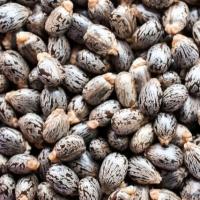 High Quality Castor Seeds