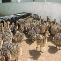 South African Day Old Ostrich Chicks