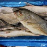 Wholesale Frozen Jack Fish