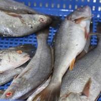 Frozen Meagre Fish Low Fat White Meat