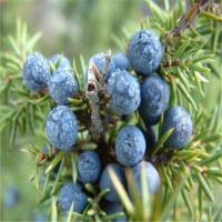 Juniper Berry Oleoresin