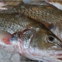 Wholesale Croaker Fish