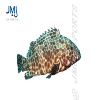 Long Fin Grouper