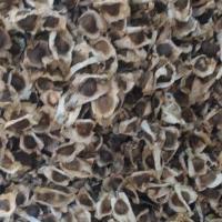 Moringa Seeds Pkm1 Variety