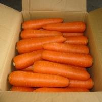 Bulk Cheap Fresh Carrot