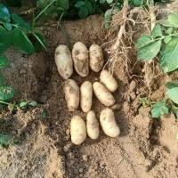 Potato Spunta