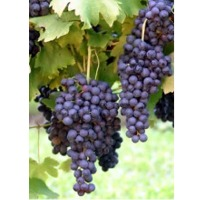 Grape (Blue-Black) Pulp