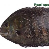 Pearl Spot