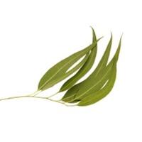 Eucalyptus Citriodora Oil