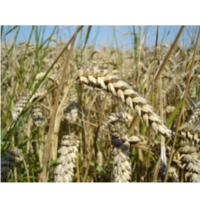 UAE Wheat Suppliers, Manufacturers, Wholesalers and Traders