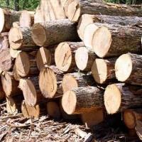 PINE Wood logs Birch Wood Logs Spruce Wood Logs