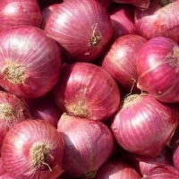 title=' Export Quality Onions'