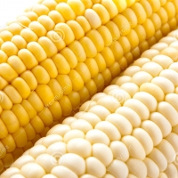 White and Yellow Corn For Human