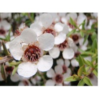 Manuka White Honey