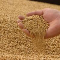 Russian Origin Wheat