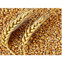 Wheat Suppliers, Manufacturers, Wholesalers and Traders