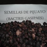 Bactris Gasipaes, Chontaduro, Pijuayo Seeds