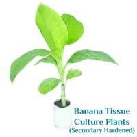 Secondary Hardened Banana Tissue Culture Plants