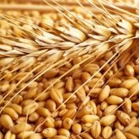 High Quality Wheat Grain