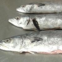 Frozen Fish Serra Spanish Mackerel
