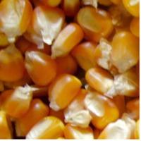 Yellow Maize & Corn