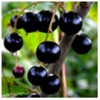Dark Balsamic Vinegar Black Current