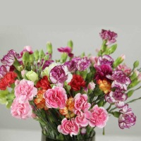 Carnation (all Colors)