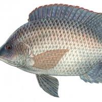 Tilapia Black Tilapia Fish