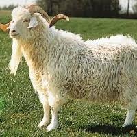 Saanen, Guernsey, Angora And Cashmere Goats