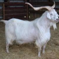 Kiko, Nubian, Saanen, Angora and Cashmere Goats