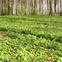 Wild Garlic Leaves