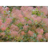 Smoke Tree Leaves (Cotinus)