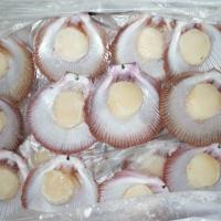 Scallop (Amusium Balloti)