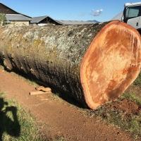 Pine Logs Large (Bunya)