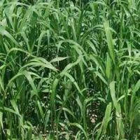 Sorghum -Sudan Grass Seed