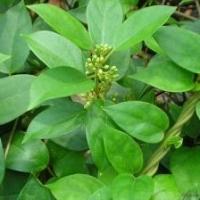 Gymenema Sylvestre Leaves