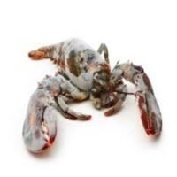Panulirus Sp Lobster