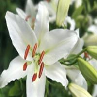 Oriental Lily (Liliums)