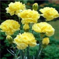 Carnations (Dianthus)