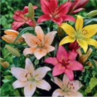 Asiatic Lily (Auratum)