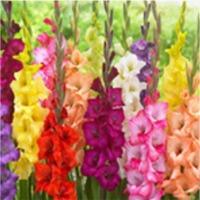 Gladiolus (Iridaceae)