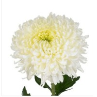 Decor Chrysanthemum