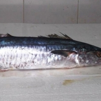 Whole Frozen Kingfish