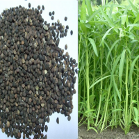 Water Spinach Seed